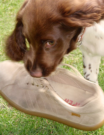 puppy training – problems like chewing a shoe