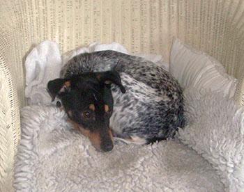 vet referral - sick dog