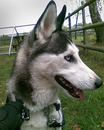 rescue dogs - beautiful dog with blue eyes